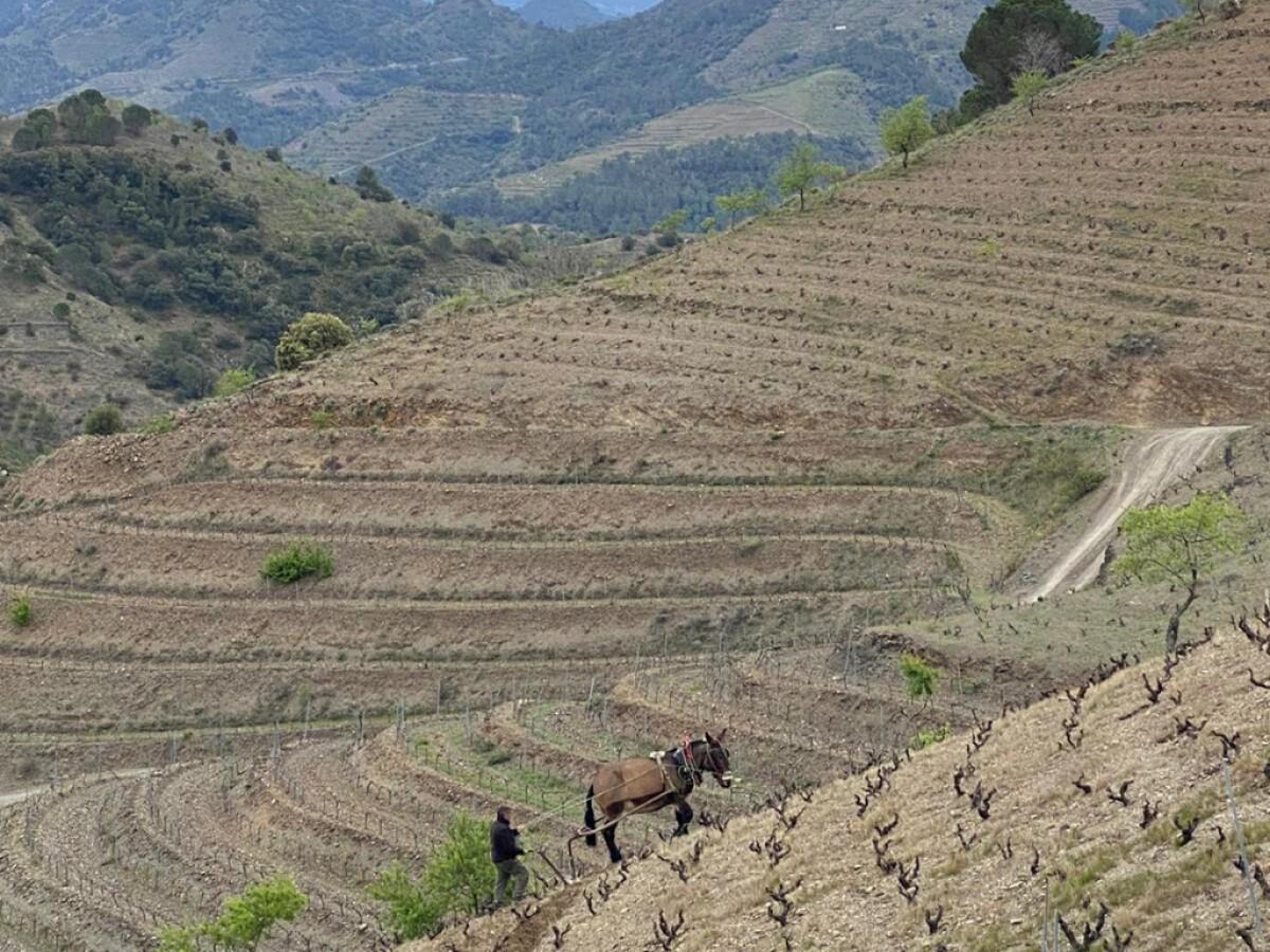 La vinya de Mas de la Rosa.